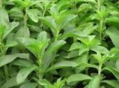 şeker Otu Stevia Fidesi (10 Adet)