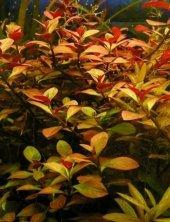 Ludwigia Repens (Gül) 1 Bağ Bitki Canlı Bitki
