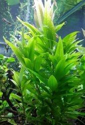 Tütün (Hygrophila Corymbosa)1 Bağ Bitki Canlı Bitki