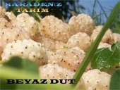 Beyaz Dut Fidanı Aşılı Sertifikalı Meyve Fidanı
