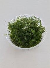 Strıngy Moss (Leptodictyum Riparium) Akvaryum Bitkisi