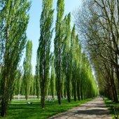 Anadolu Kavak Ağacı Fidanı (10 Adet)