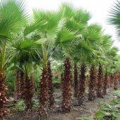 Tüplü Washingtonia Robusto Palmiye Ağacı Fidanı (150 200 Cm)