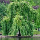 Tüplü Salkım Söğüt Ağacı Fidanı (10 Adet)