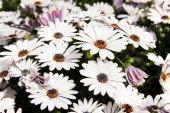 Erato Compact White Beyaz Çiçekli Bodrum Papatyası Çiçeği Fidesi (3 Fide)