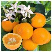 Saksılık Calamondin Fidanı (3 Yaş Torbalı Meyveli)