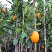 Portakal Fidanı 3 Yaş (Washington)