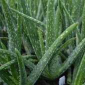 Aloevera Bitkisi 25cm Doğal Krem Şifalı Bitki Sarısabır (Bitkiler Dekor Saksı İçinde Gönderilir)