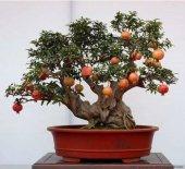 Bonsai Yapılabilir Cüce Nar Ağacı Tohumu