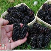 Tüplü Çok İri Meyveli Cebeci Böğürtlen Fidanı