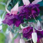 Saksıda Deep Mor Küpe Çiçeği